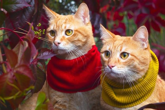 Dois gatos vermelhos idênticos, gêmeos em um lenço, sob os raios do sol em um fundo de folhas vermelhas. ao ar livre e fora.