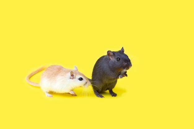 Dois gerbos caseiros vermelhos e pretos em um fundo amarelo. manutenção de roedores em casa