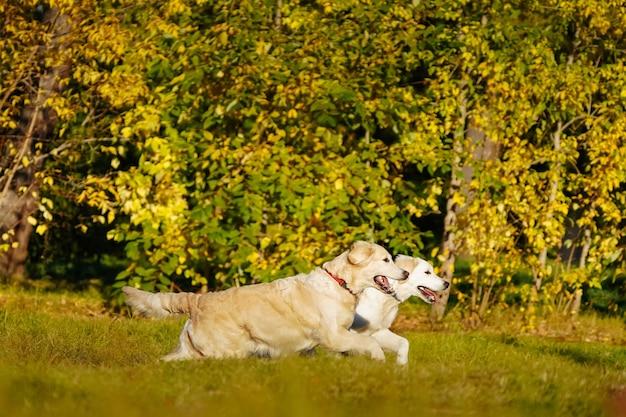 Dois golden retrievers se divertindo correndo um com o outro no parque de outono