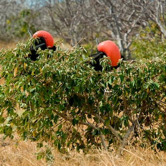 Dois, grande, frigatebirds, (fregata, minor), perching, ligado, um, filial árvore, norte, seymour, ilha, ilhas galapagos, equador Foto Premium