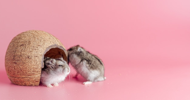 Dois hamsters em uma casa feita de coco em um fundo rosa com espaço de cópia