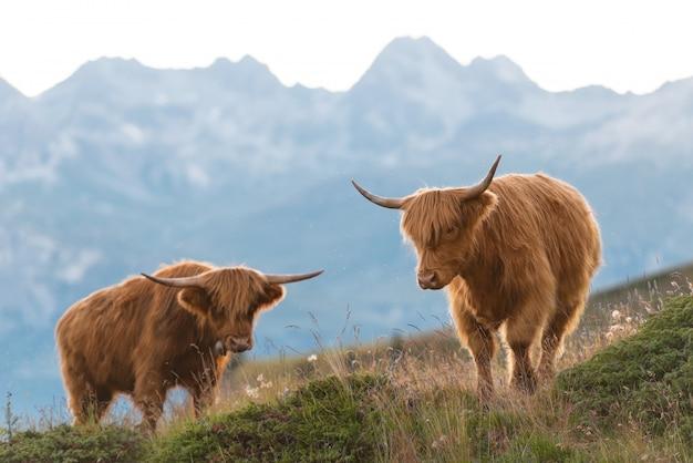 Dois highlander - vaca escocesa nos alpes suíços