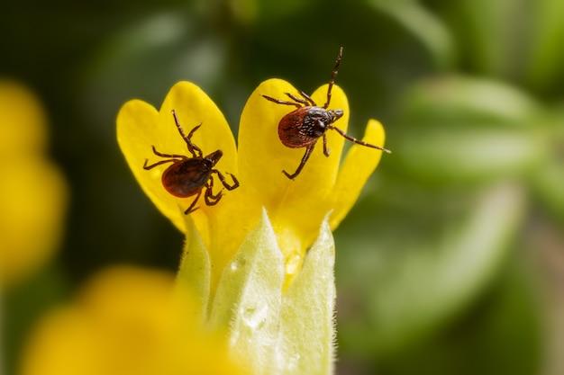 Dois insetos vermelhos na flor amarela