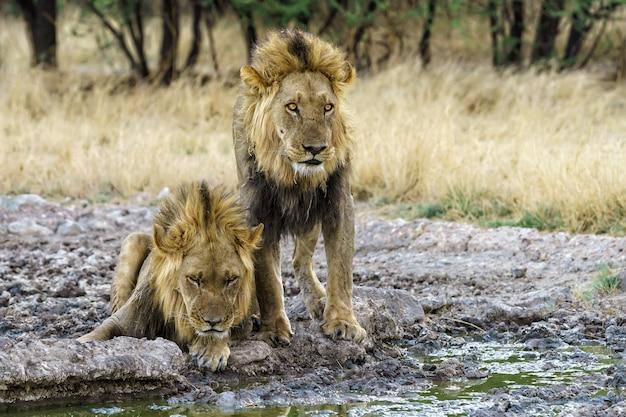 Dois irmãos de sangue de leão bebendo