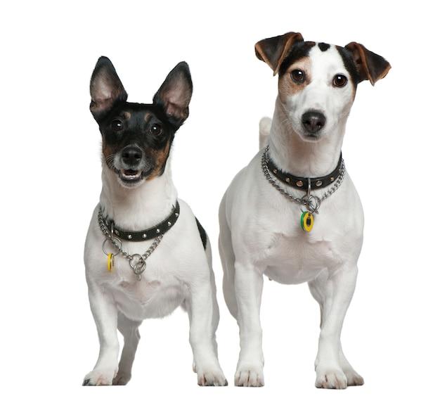 Dois jack russell terriers, 3 e 4 anos. retrato de cachorro isolado