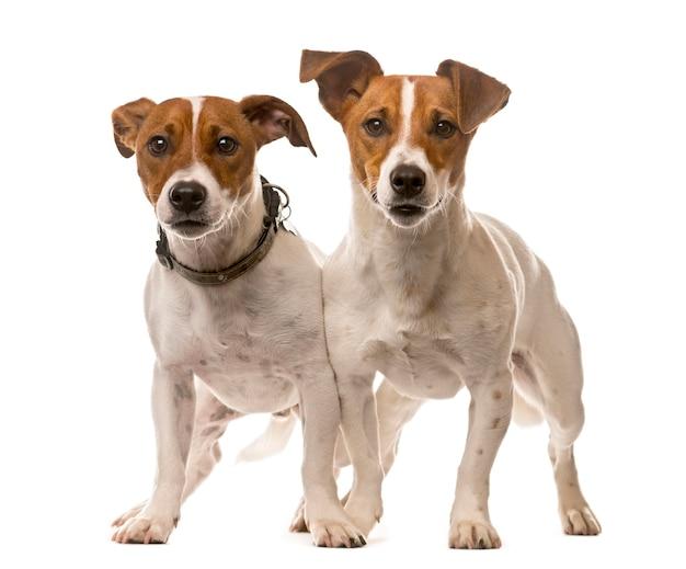Dois jack russell terriers em frente a uma parede branca