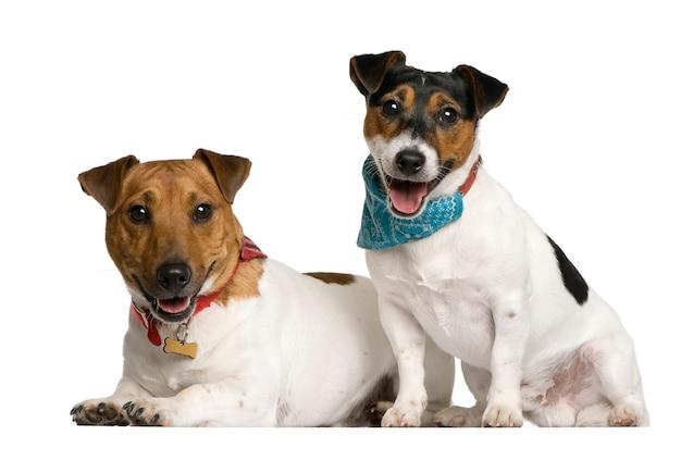 Dois jack russell terriers sentado, tiro do estúdio