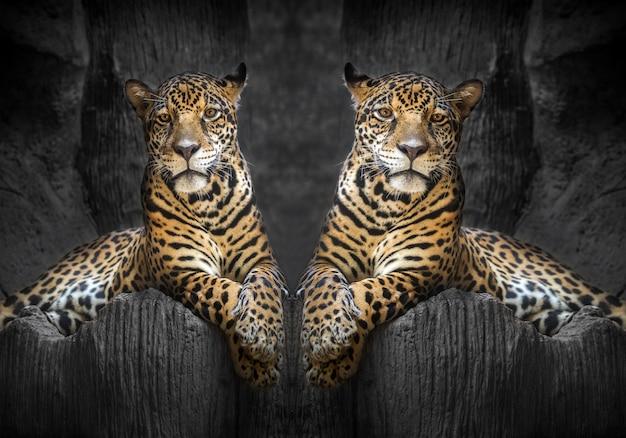 Dois jaguares relaxam no ambiente natural do zoológico.