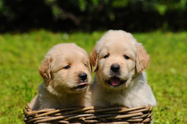 Dois, jovem, retriever dourado, cachorros