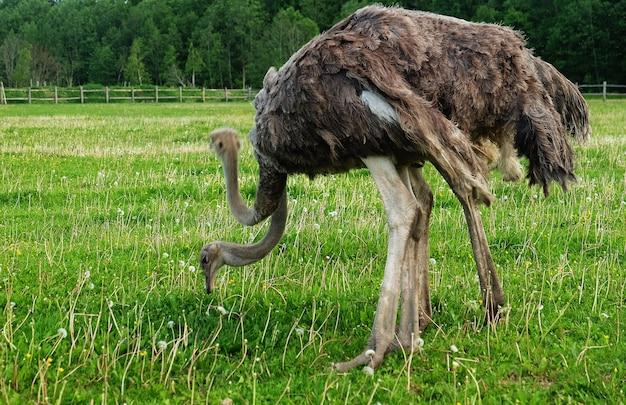 Dois jovens avestruzes na grama verde no verão