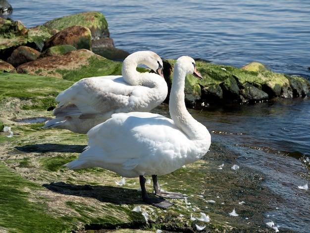 Dois jovens cisnes brancos parados nas pedras verdes do rio