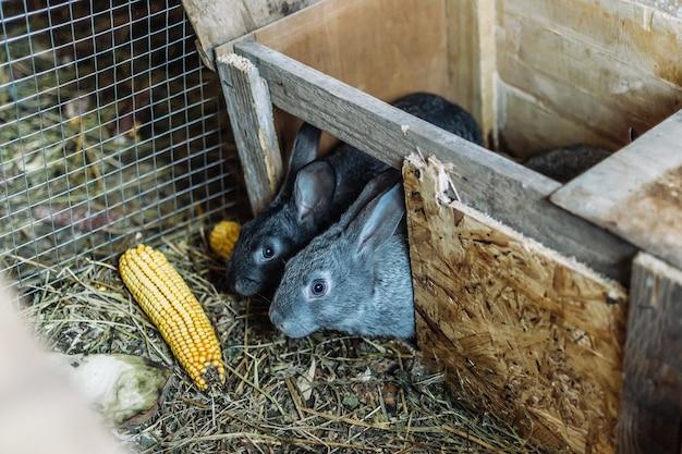 Dois jovens coelhos cinzentos rastejam para fora de sua casa e comem milho. criação de coelhos. coelhos na fazenda em uma gaiola de madeira. fazenda de criação de coelhos. fechar-se