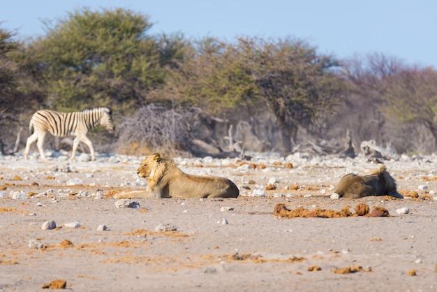 Dois jovens leões preguiçosos masculinos deitado no chão. zebra andando imperturbável