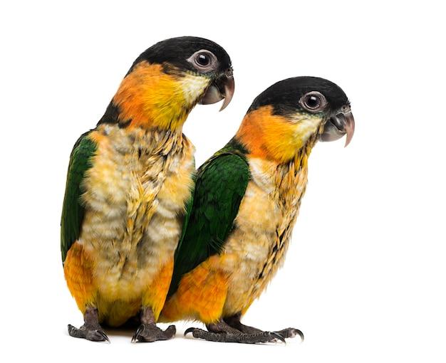 Dois jovens papagaios-de-bico-preto (10 semanas de idade) isolados no branco