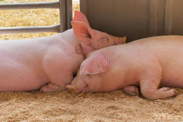 Dois jovens porco juntos.