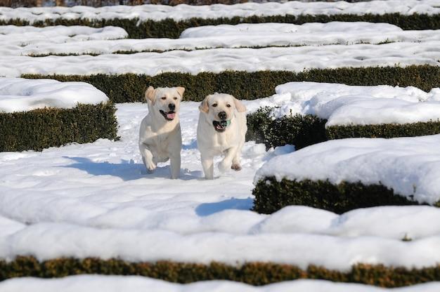 Dois labrador na neve na estação do inverno.