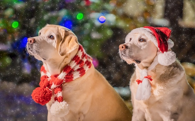 Dois labradores dourados em lenços estão sentados perto de uma árvore de natal decorada durante uma nevasca no inverno no pátio de um prédio de apartamentos.