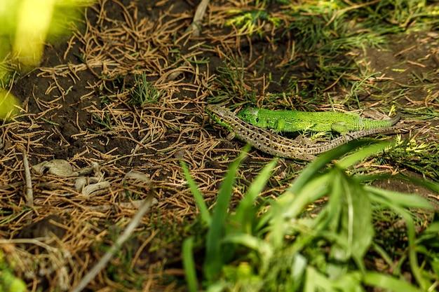 Dois lagartos no jardim em um dia ensolarado de verão