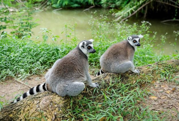Dois lemur-de-cauda-anelada ou lemur catta sentado na árvore da raiz.