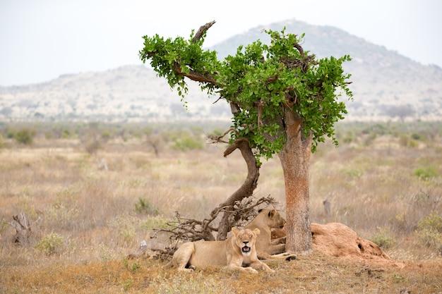 Dois leões descansam à sombra de uma árvore