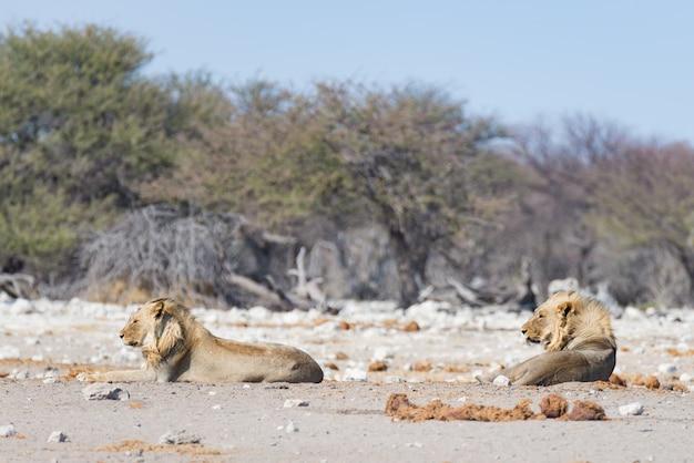 Dois leões preguiçosos masculinos novos que encontram-se para baixo na terra. zebra (desfocado) andando sem perturbações. safári dos animais selvagens no parque nacional de etosha, atração turística principal em namíbia, áfrica.