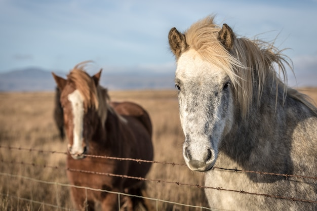 Dois lindo cavalo selvagem na islândia