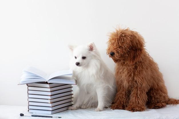 Dois lindos cachorrinhos, um pomeranian branco e um poodle vermelho marrom, estão sentados perto de uma pilha de livros, um dos livros está aberto. o conceito de aprendizagem, escola, leitura, literatura