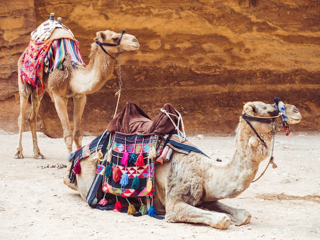 Dois lindos camelos no fundo da rocha