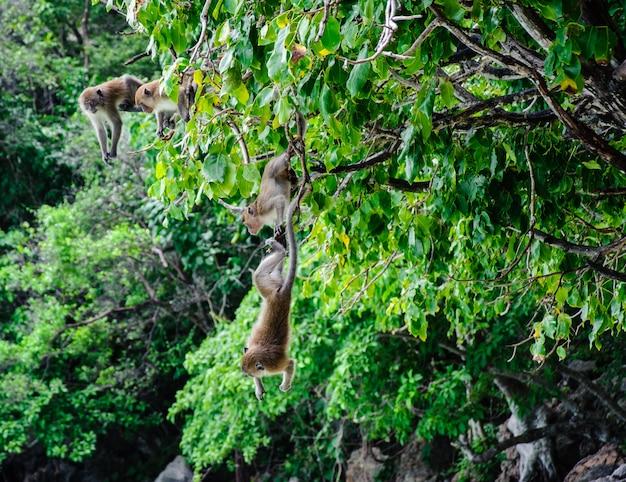 Dois macaca fascicularis pendurados na árvore. ilha do macaco, koh phi phi, tailândia
