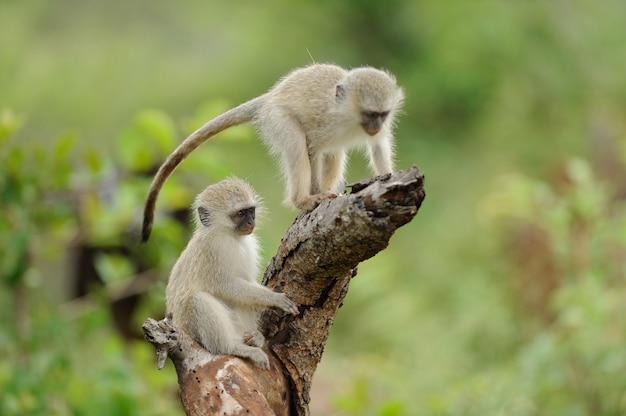 Dois macacos bebê fofo brincando em um tronco de madeira
