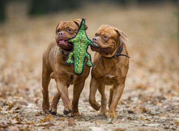 Dois mastins franceses estão brincando no parque de outono.