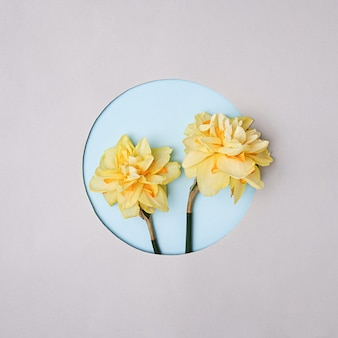 Dois narcisos amarelos sobre um fundo cinza com um decote redondo no fundo. conceito mínimo de primavera e convite de aniversário e celebração de família ou amigos.
