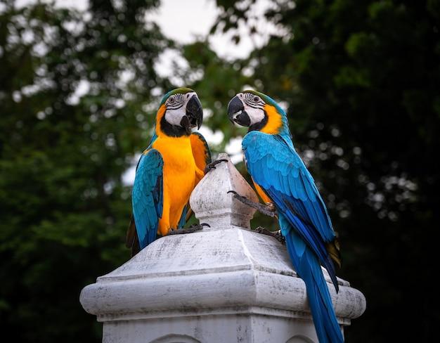 Dois papagaios de arara azuis e dourados coloridos em pé no poleiro da coluna.
