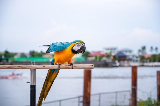 Dois papagaios de arara azuis e dourados coloridos em pé no poleiro de madeira.