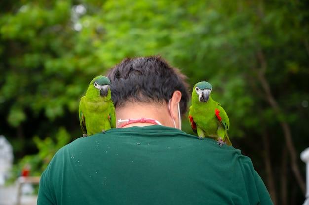 Dois papagaios de arara hahn empoleirados no ombro de uma pessoa.