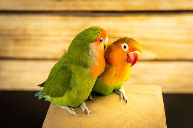 Dois papagaios multicoloridos inseparáveis em um fundo de madeira