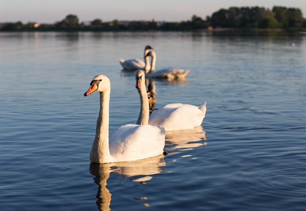 Dois pares de cisnes nadam no lago