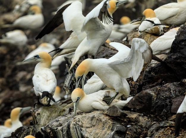 Dois pássaros adultos têm uma dança de acasalamento. north berwick. escócia. grã bretanha
