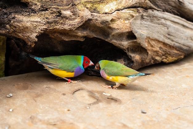 Dois pássaros do tentilhão de gould ou erythrura gouldiae ao ar livre