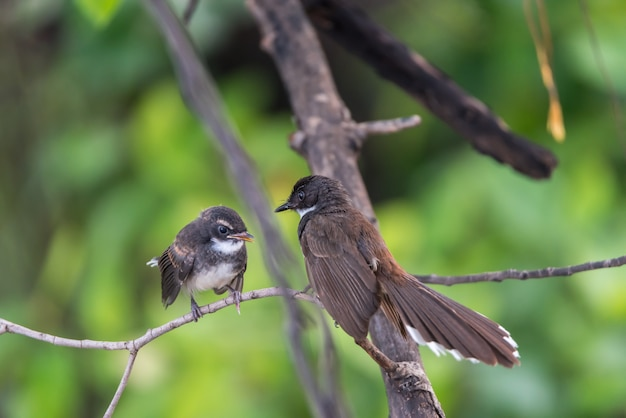 Dois, pássaros, (malaysian, pied, fantail), natureza, selvagem