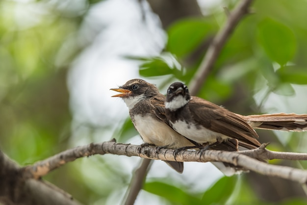 Dois pássaros (pied fantail flycatcher, rhipidura javanica) cor preta em uma natureza selvagem