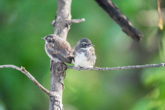 Dois pássaros (pied fantail flycatcher, rhipidura javanica) cor preta