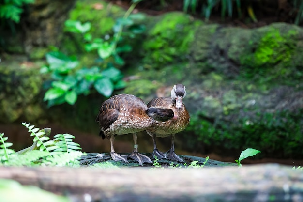 Dois pato selvagem jogando um ao outro
