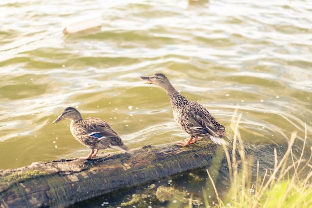 Dois patos adultos estão em um log
