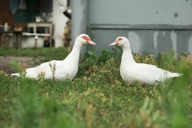 Dois patos brancos com olhos vermelhos na grama
