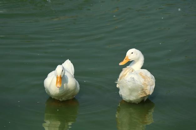 Dois patos brancos que preening na lagoa com reflexão na água.