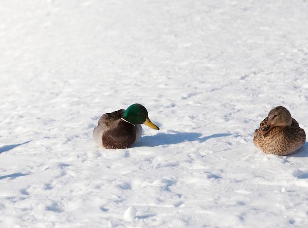 Dois patos invernando na europa, o inverno com muita neve e geada, um casal de patos vive em uma cidade perto do rio, no inverno são alimentados por pessoas