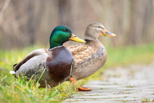 Dois patos selvagens andando no parque de verão.