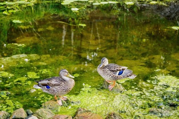 Dois patos selvagens nas pedras costeiras de um rio de estepe raso