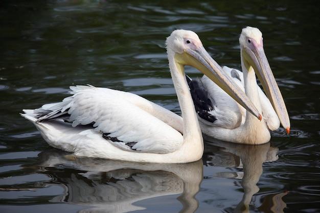 Dois pelicanos nadando na lagoa